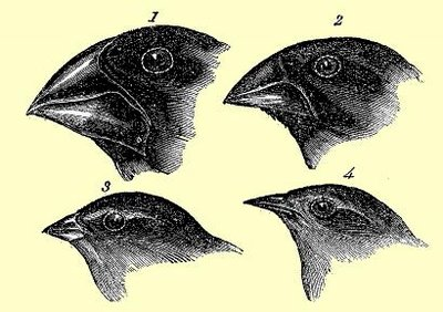 finches and their evolution of beaks